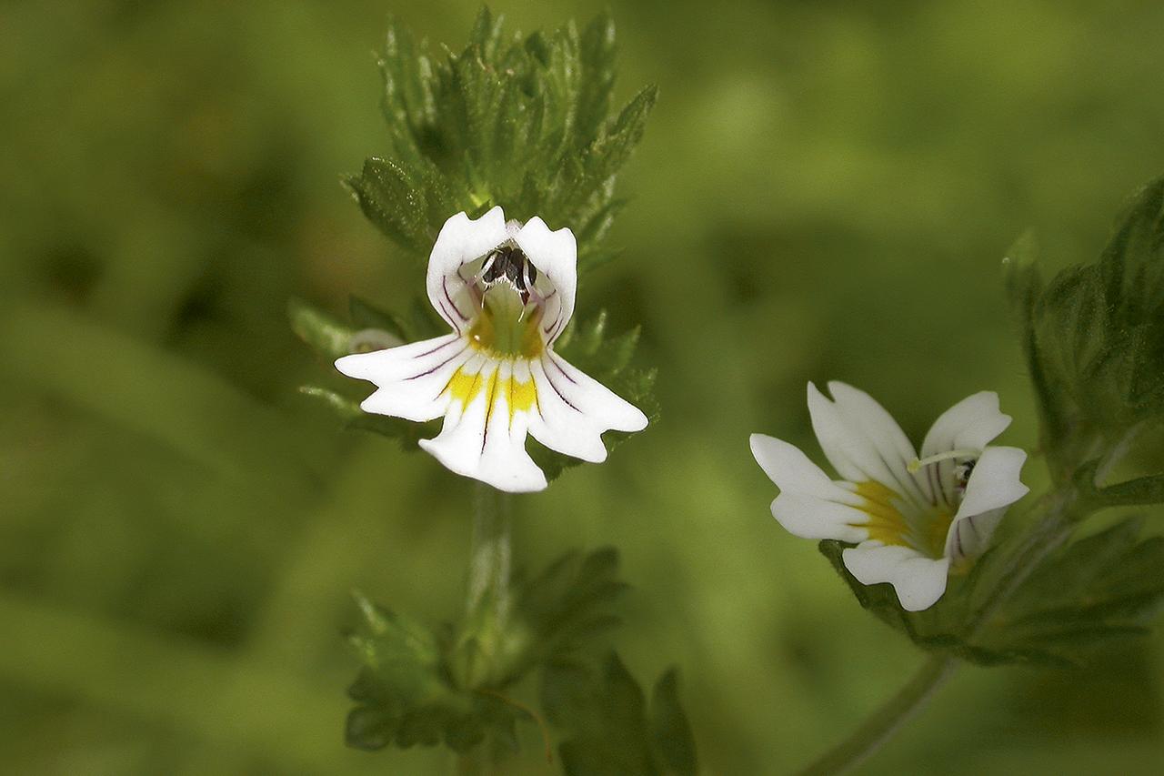 Euphrasia Blüte
