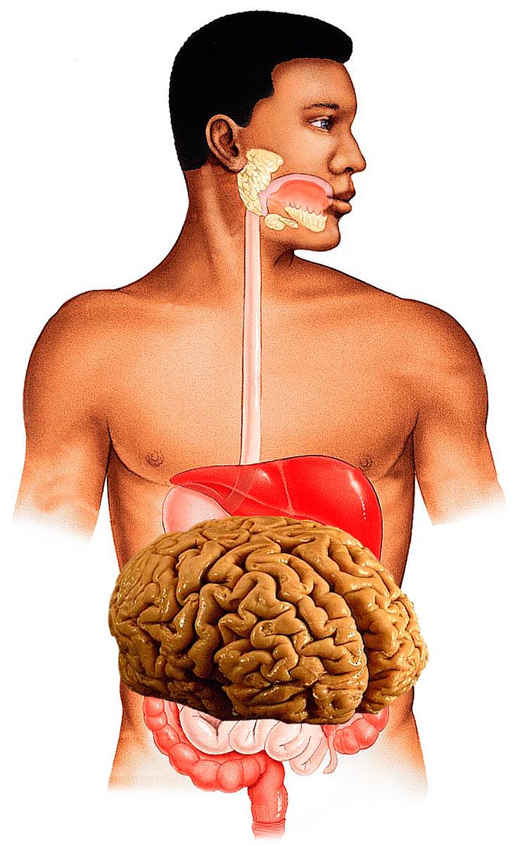 digestive-system+brain