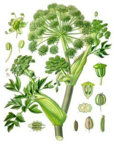 Angelica archangelica, Köhler Medizinal Pflanzen