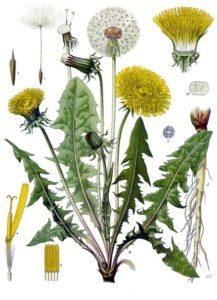 Taraxacum offizinale. Köhler's medicinal plats