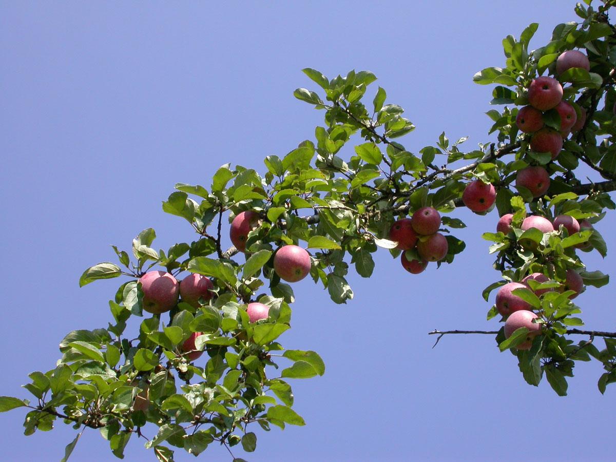 Geliebte Der Apfel – die kleine Gesundheitsapotheke › Paracelsus Magazin #ZT_13